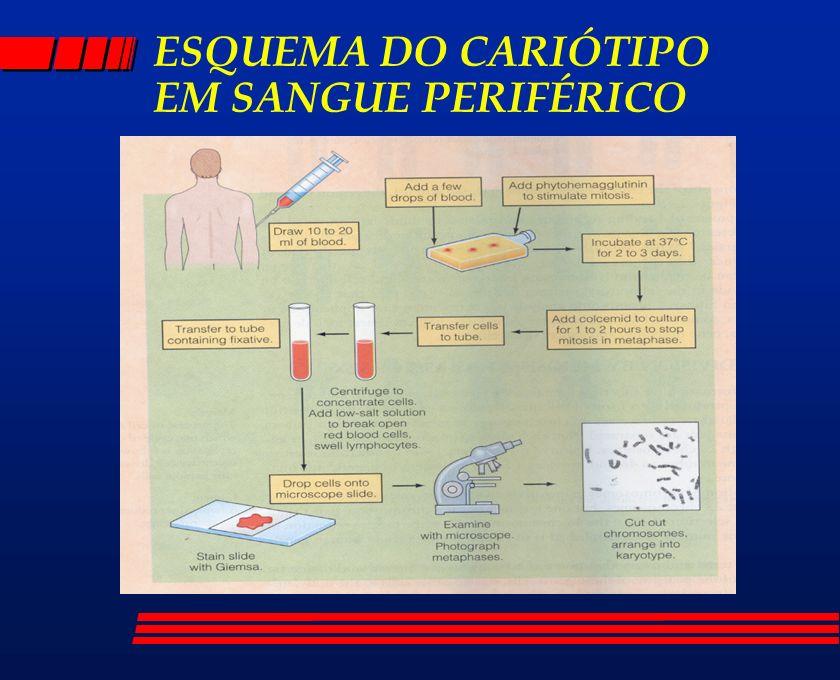 ESQUEMA DO CARIÓTIPO EM SANGUE PERIFÉRICO