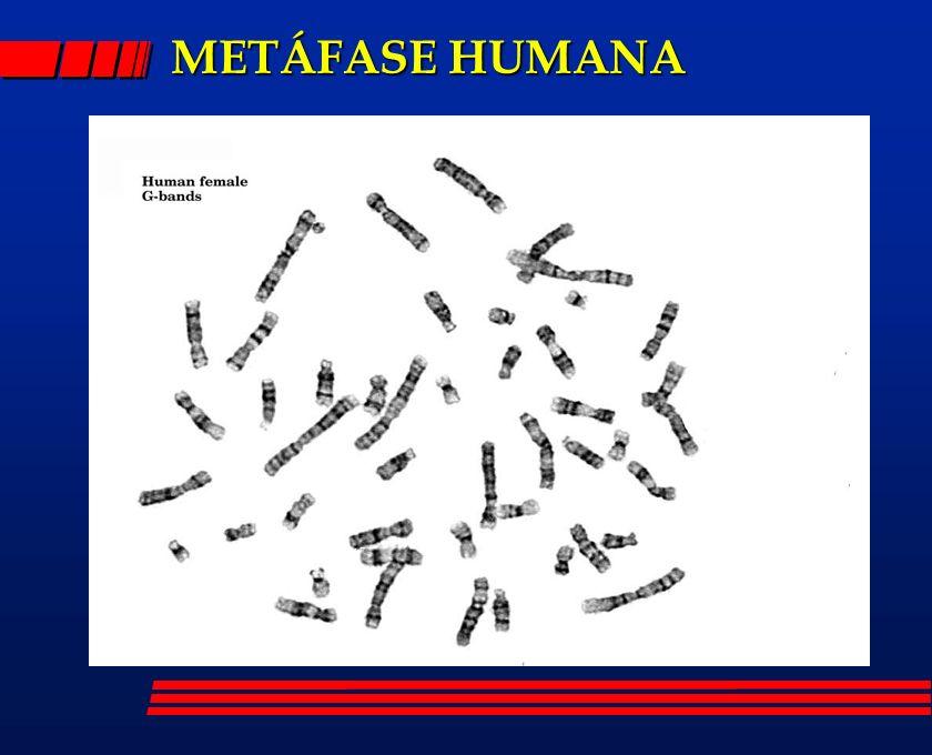 METÁFASE HUMANA
