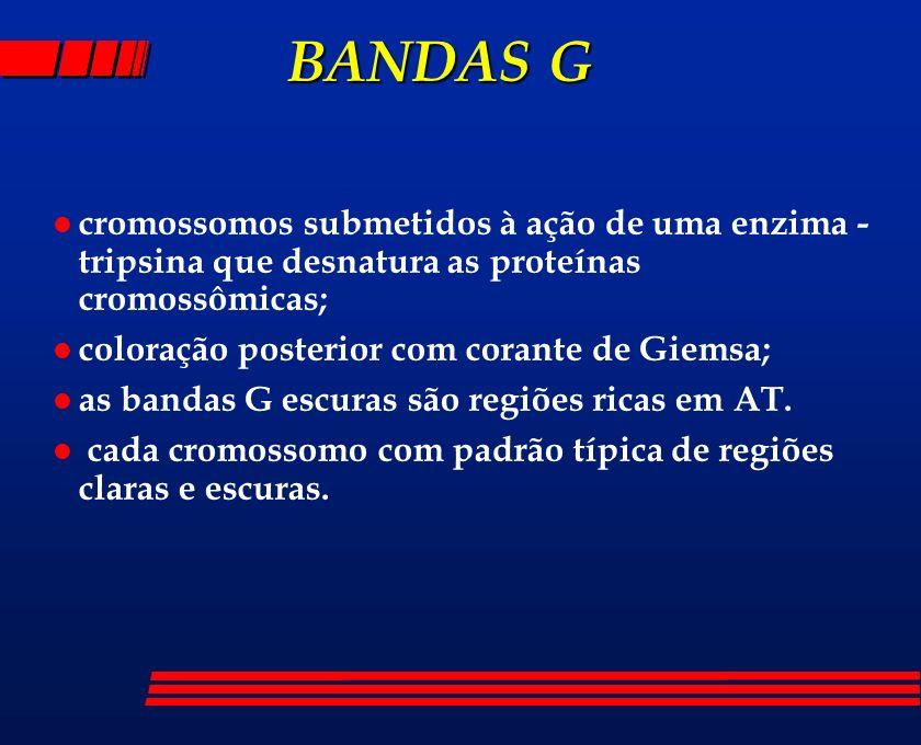 BANDAS G BANDAS G l cromossomos submetidos à ação de uma enzima - tripsina que desnatura as proteínas cromossômicas; l coloração posterior com corante