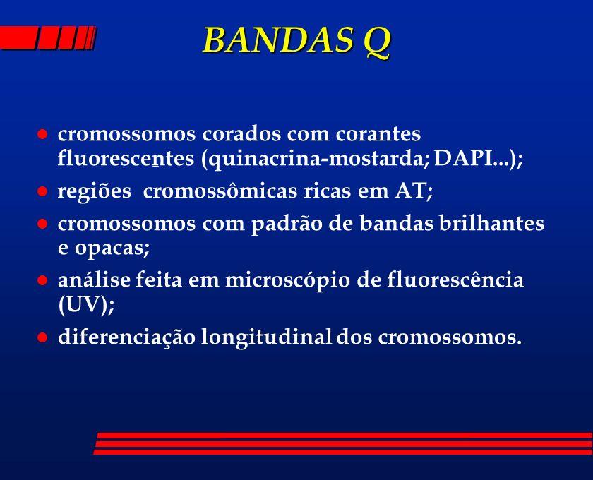 BANDAS Q l cromossomos corados com corantes fluorescentes (quinacrina-mostarda; DAPI...); l regiões cromossômicas ricas em AT; l cromossomos com padrã