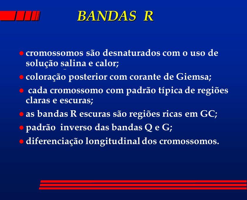 BANDAS R BANDAS R l cromossomos são desnaturados com o uso de solução salina e calor; l coloração posterior com corante de Giemsa; l cada cromossomo c