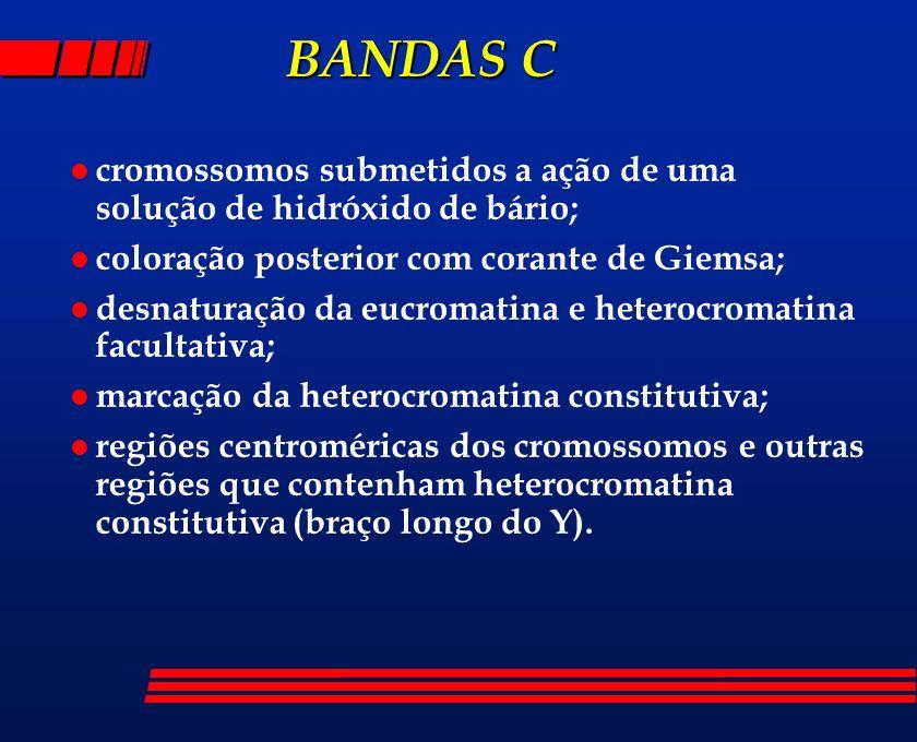 BANDAS C BANDAS C l cromossomos submetidos a ação de uma solução de hidróxido de bário; l coloração posterior com corante de Giemsa; l desnaturação da