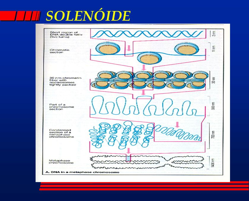 BANDAS Q l cromossomos corados com corantes fluorescentes (quinacrina-mostarda; DAPI...); l regiões cromossômicas ricas em AT; l cromossomos com padrão de bandas brilhantes e opacas; l análise feita em microscópio de fluorescência (UV); l diferenciação longitudinal dos cromossomos.
