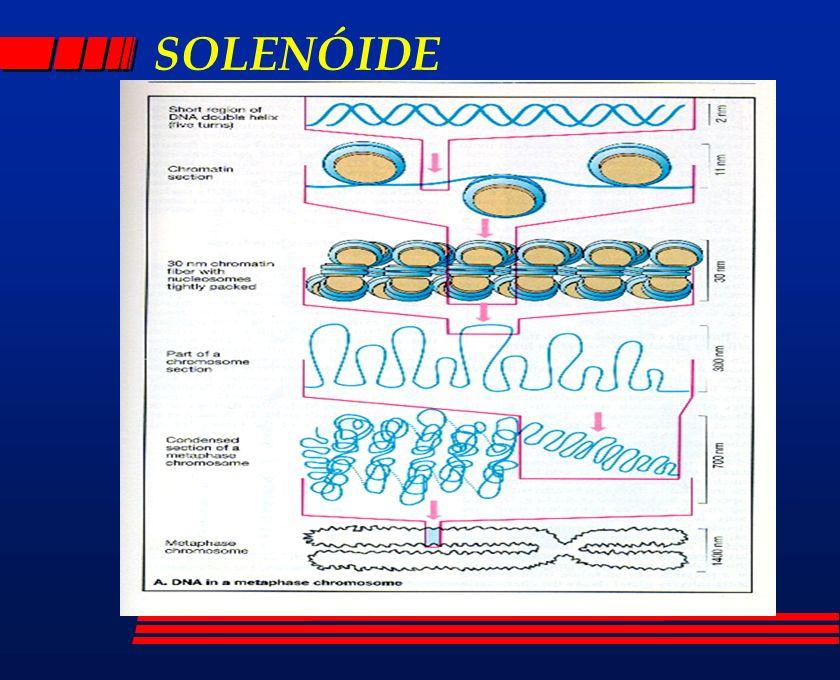 COMPRIMENTO DO CROMOSSOMO 1 l DNA15cm l NUCLEOSSOMA1,5cm (1:10)~ 200pb l SOLENÓIDE0,3cm (1:50)~1200pb 10a 100kb 10a 100kb l PRÓFASE50 m (1:3000) l METÁFASE15 m (1:10000) l BANDA10 a 20 milhões pb