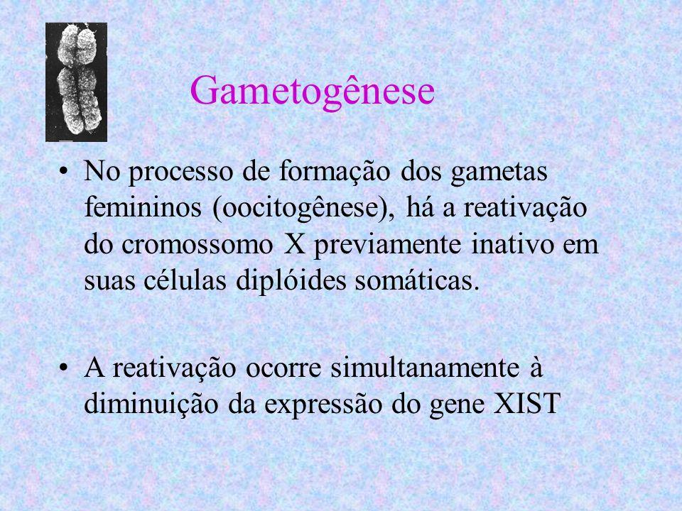 Gametogênese No processo de formação dos gametas femininos (oocitogênese), há a reativação do cromossomo X previamente inativo em suas células diplóid