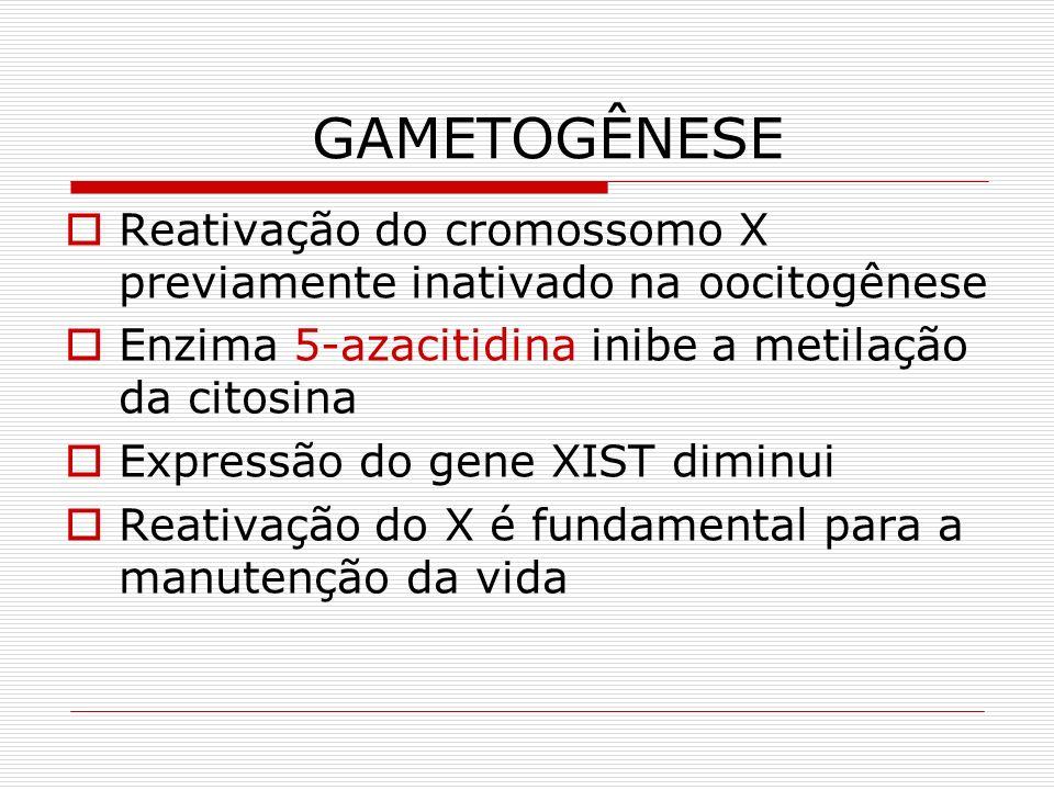 GAMETOGÊNESE Reativação do cromossomo X previamente inativado na oocitogênese Enzima 5-azacitidina inibe a metilação da citosina Expressão do gene XIS