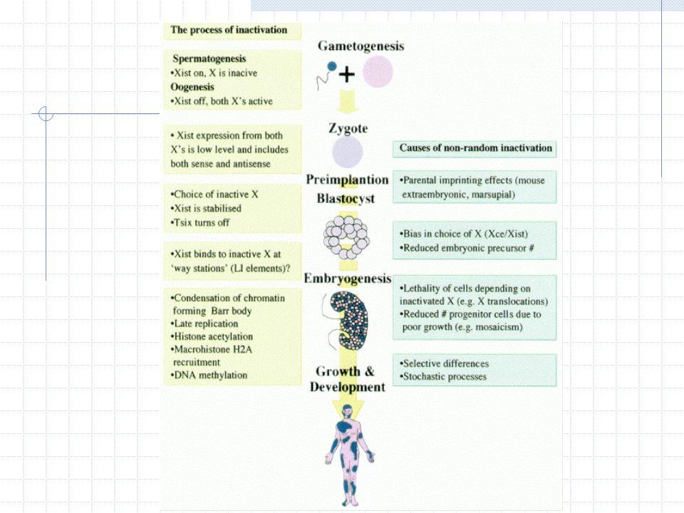 Gametogênese No processo de formação dos gametas femininos (oocitogênese), há a reativação do cromossomo X previamente inativo em suas células diplóides somáticas A reativação ocorre simultaneamente à diminuição da expressão do gene XIST