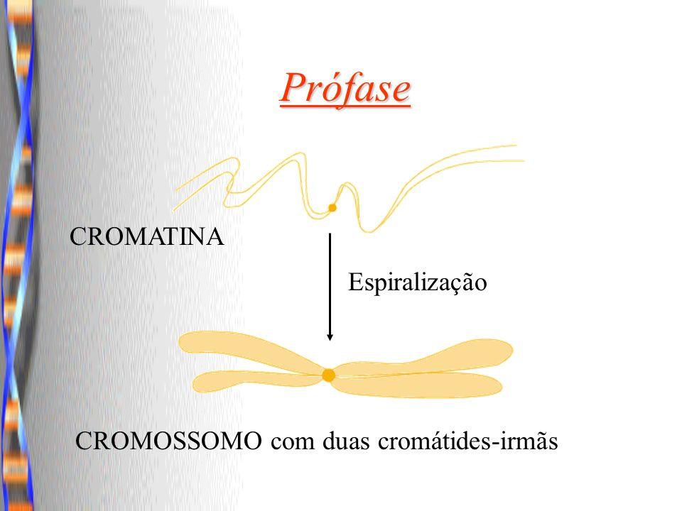 Espiralização CROMOSSOMO com duas cromátides-irmãs Prófase CROMATINA