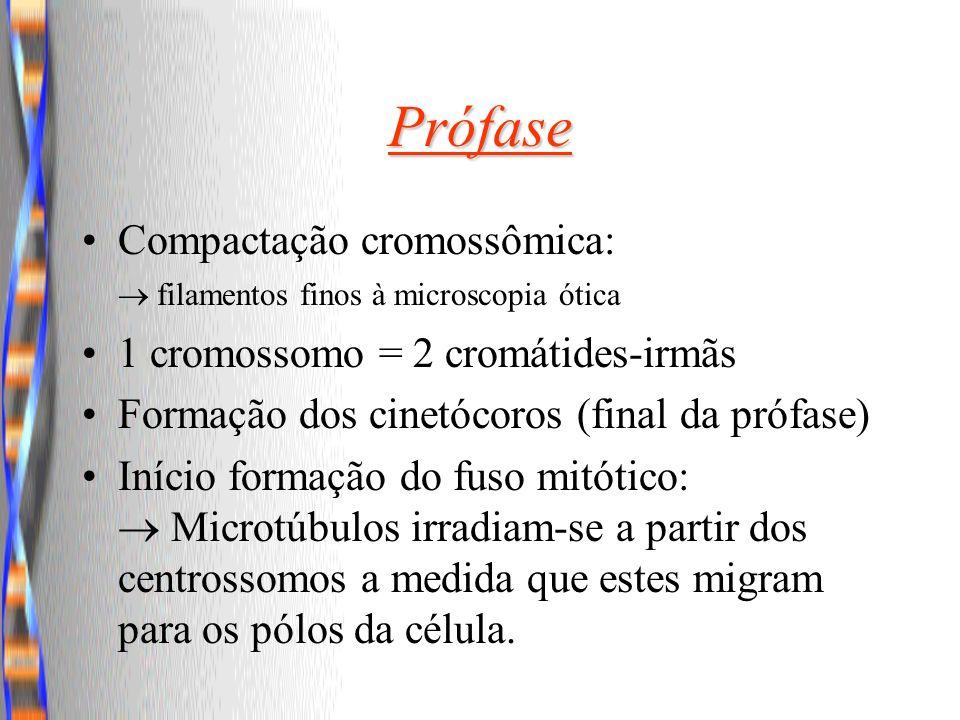 Prófase Compactação cromossômica: filamentos finos à microscopia ótica 1 cromossomo = 2 cromátides-irmãs Formação dos cinetócoros (final da prófase) I