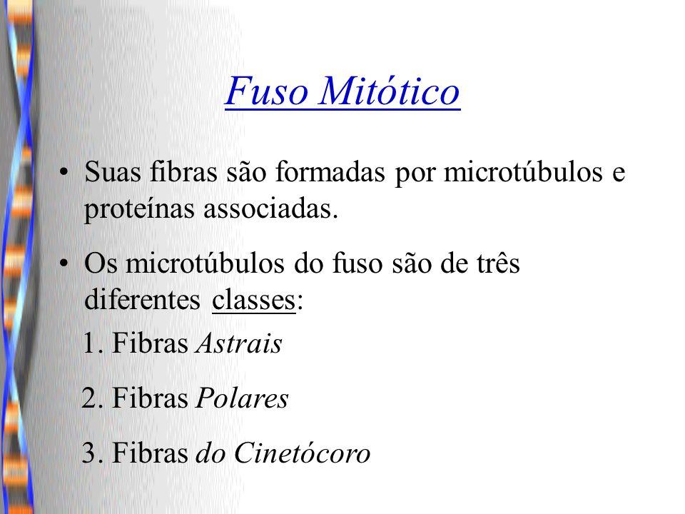 Fuso Mitótico Suas fibras são formadas por microtúbulos e proteínas associadas. Os microtúbulos do fuso são de três diferentes classes: 1. Fibras Astr
