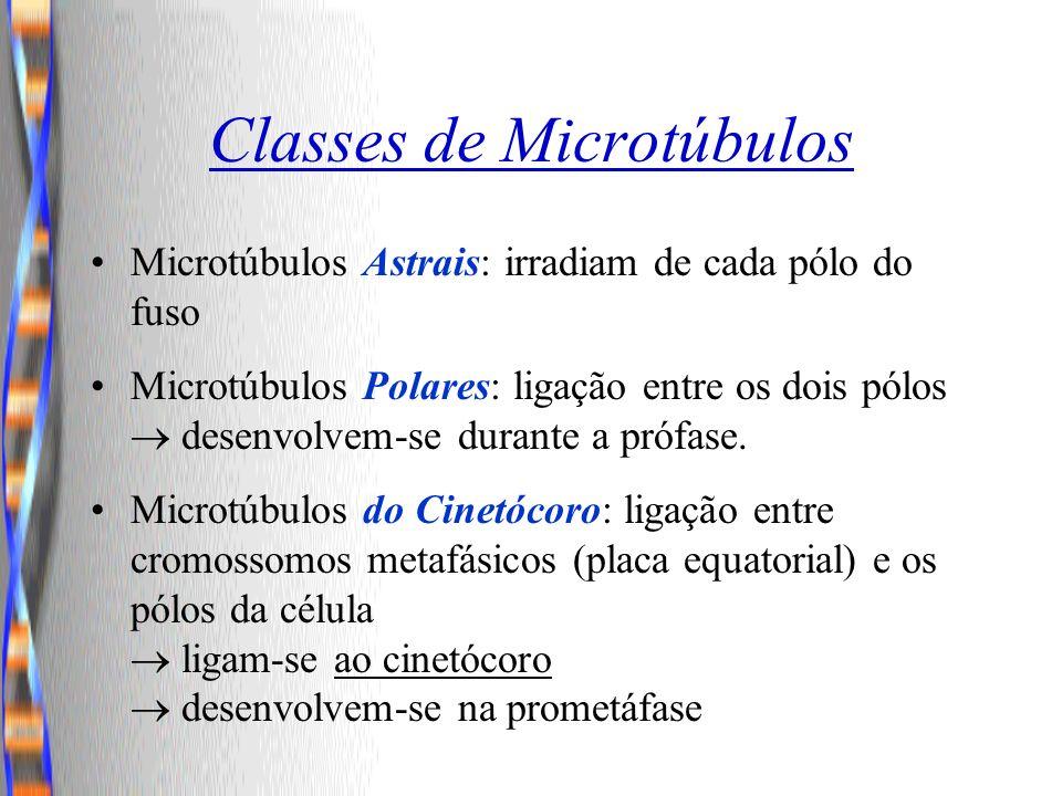Classes de Microtúbulos Microtúbulos Astrais: irradiam de cada pólo do fuso Microtúbulos Polares: ligação entre os dois pólos desenvolvem-se durante a