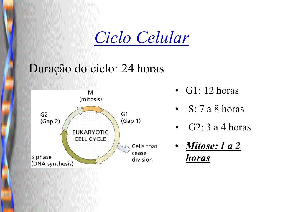 Ciclo Celular G1: 12 horas S: 7 a 8 horas G2: 3 a 4 horas Mitose: 1 a 2 horas Duração do ciclo: 24 horas