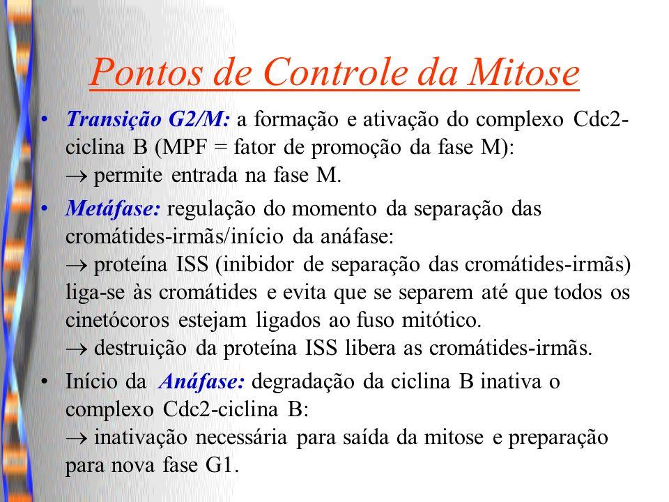 Pontos de Controle da Mitose Transição G2/M: a formação e ativação do complexo Cdc2- ciclina B (MPF = fator de promoção da fase M): permite entrada na