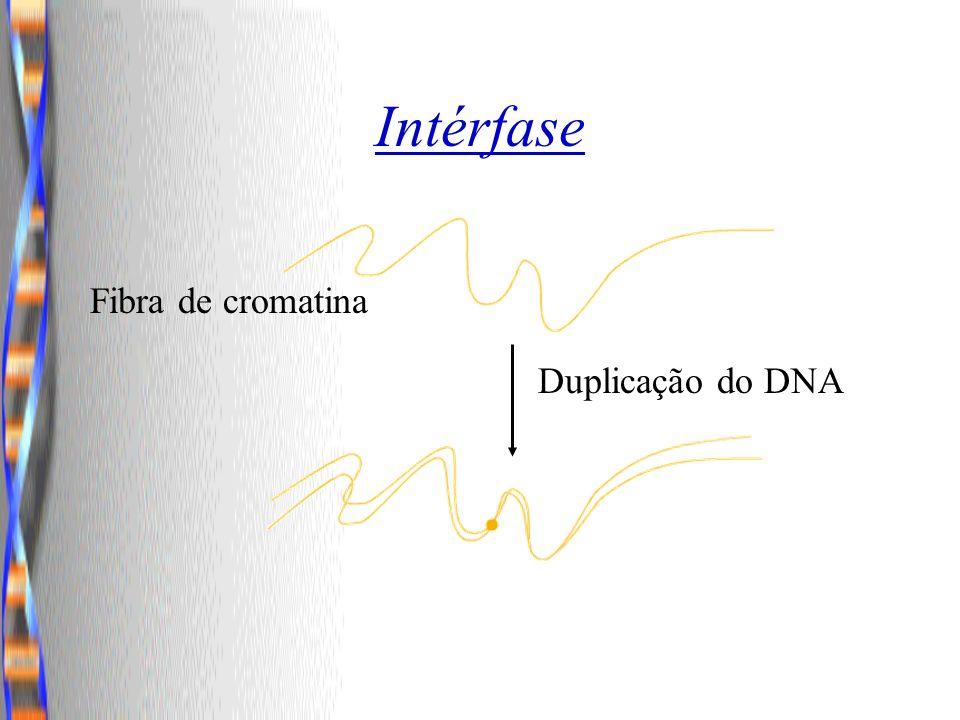 Intérfase Fibra de cromatina Duplicação do DNA