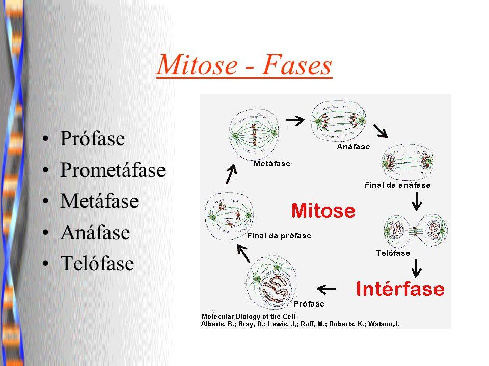 Mitose - Fases Prófase Prometáfase Metáfase Anáfase Telófase