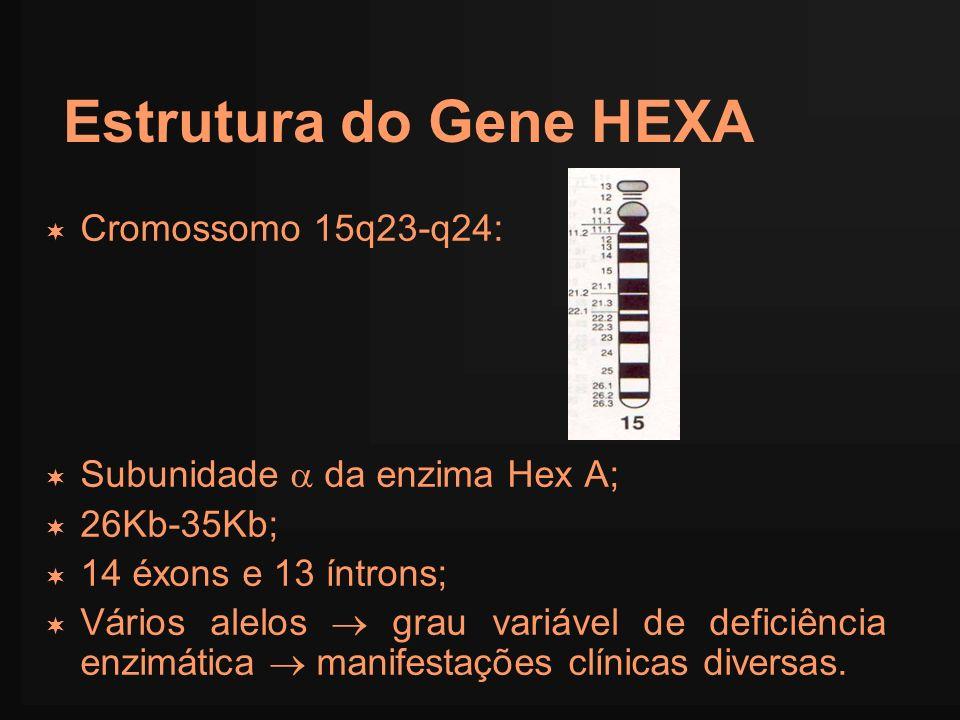 Estrutura do Gene HEXA Cromossomo 15q23-q24: Subunidade da enzima Hex A; 26Kb-35Kb; 14 éxons e 13 íntrons; Vários alelos grau variável de deficiência