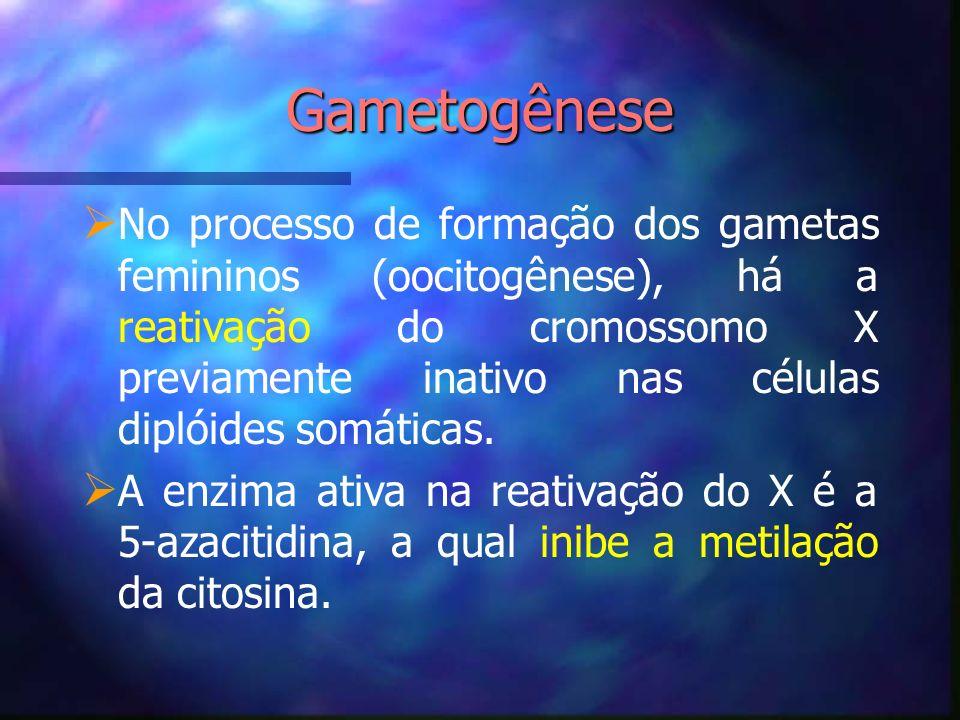 Gametogênese No processo de formação dos gametas femininos (oocitogênese), há a reativação do cromossomo X previamente inativo nas células diplóides s