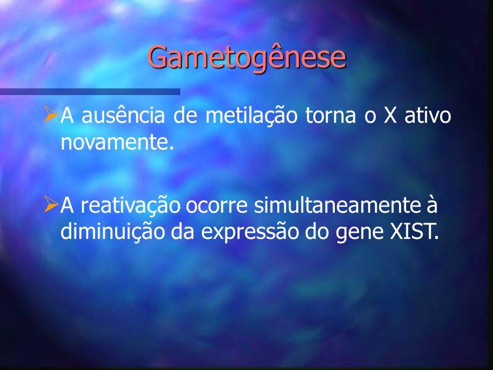 Gametogênese A ausência de metilação torna o X ativo novamente. A reativação ocorre simultaneamente à diminuição da expressão do gene XIST.