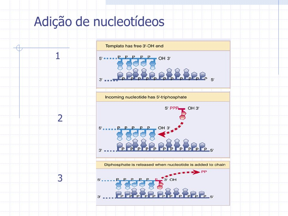 Adição de nucleotídeos 1 2 3