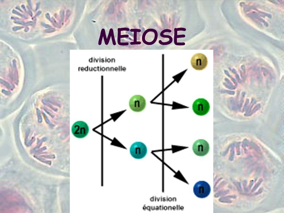 Anáfase I Separação quiasmática - os 2 membros de cada bivalente se separam.