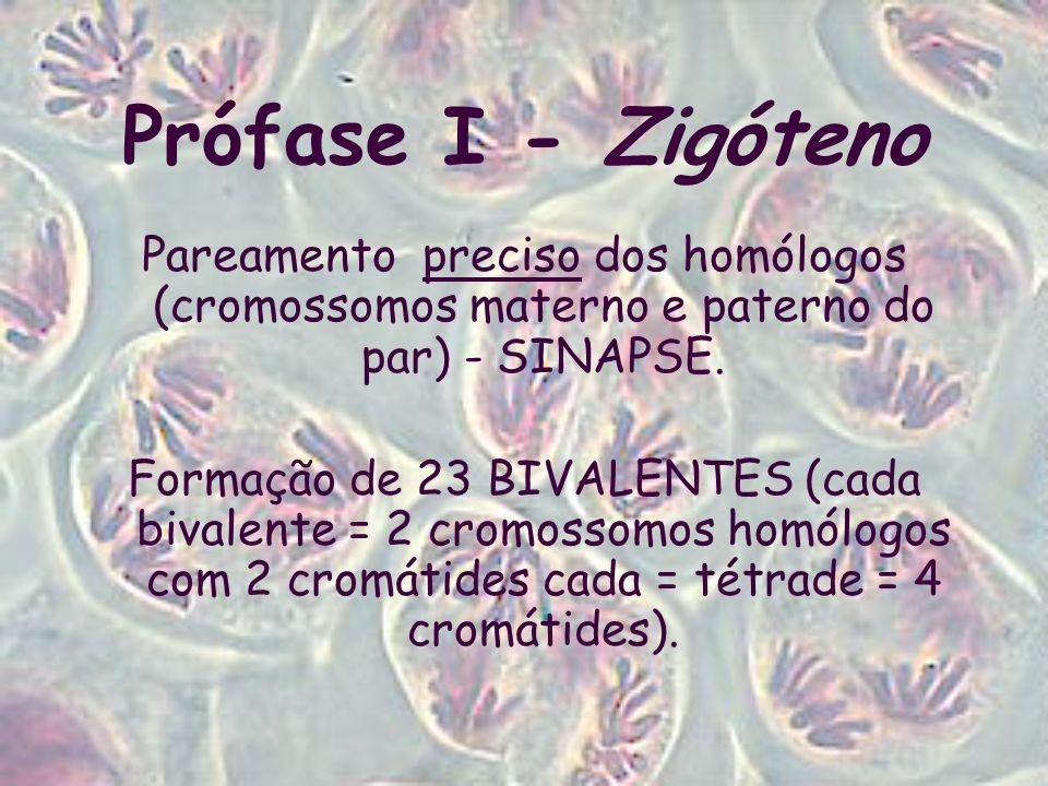 Citocinese 2 células-filhas - 23 cromossomos - 2 cromátides cada - 2C de DNA.