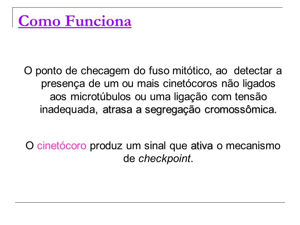 Como Funciona atrasa a segregação cromossômica. O ponto de checagem do fuso mitótico, ao detectar a presença de um ou mais cinetócoros não ligados aos
