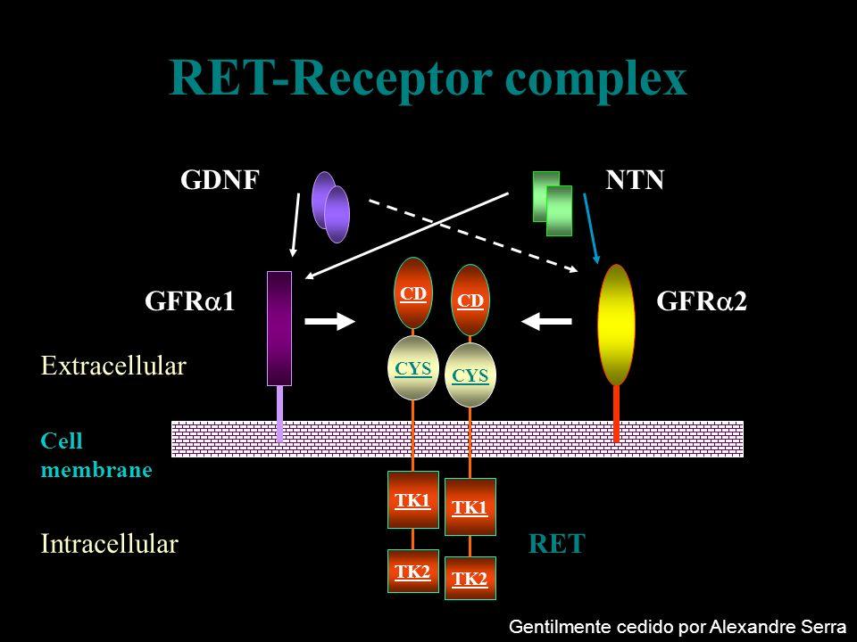 RET-Receptor complex Extracellular Intracellular TK2 TK1 CD CYS TK2 TK1 CD CYS RET GFR 2GFR 1 GDNFNTN Cell membrane Gentilmente cedido por Alexandre S
