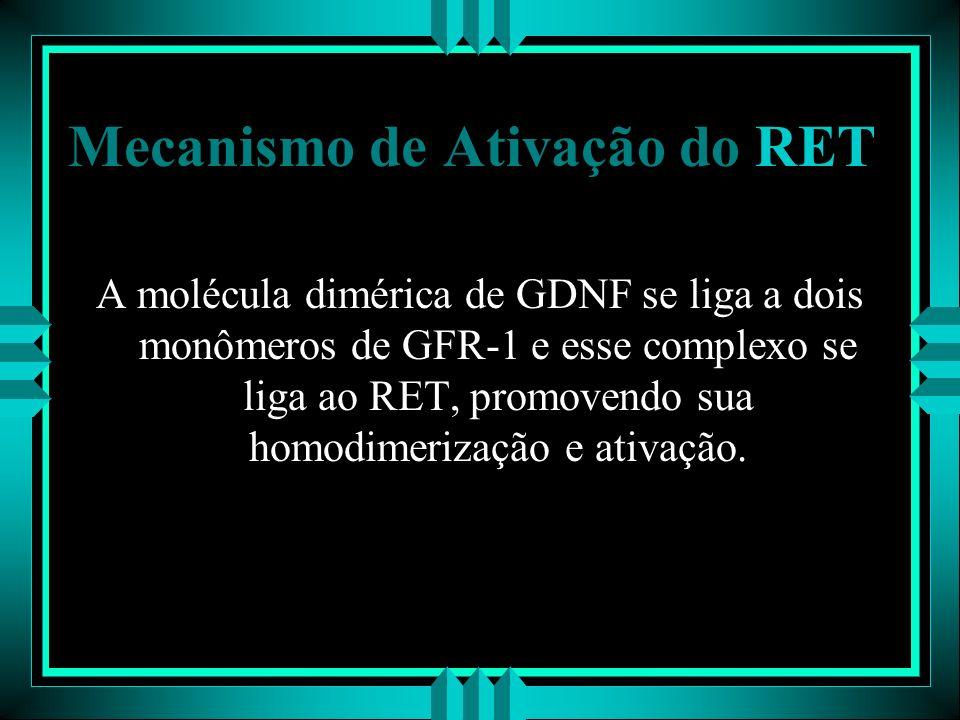Mecanismo de Ativação do RET A molécula dimérica de GDNF se liga a dois monômeros de GFR-1 e esse complexo se liga ao RET, promovendo sua homodimeriza