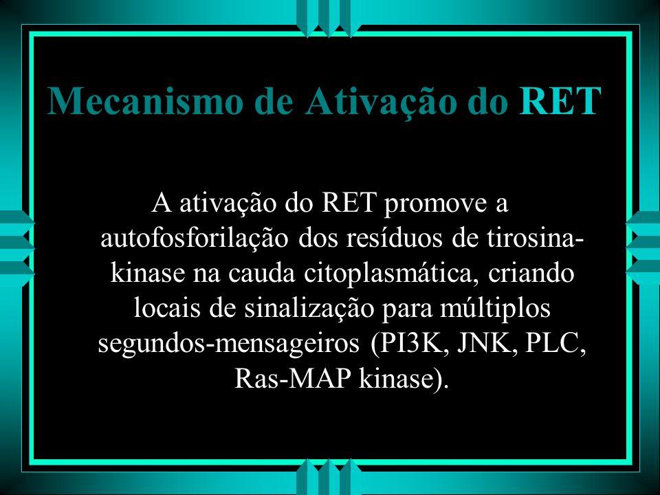 Mecanismo de Ativação do RET A ativação do RET promove a autofosforilação dos resíduos de tirosina- kinase na cauda citoplasmática, criando locais de