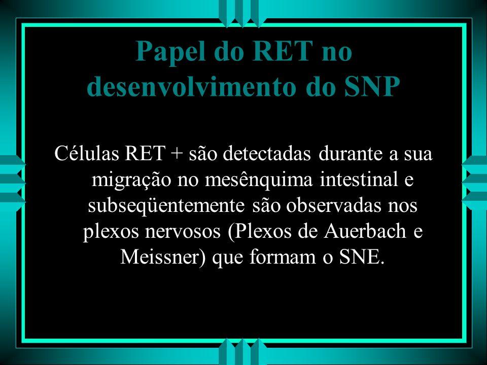 Papel do RET no desenvolvimento do SNP Células RET + são detectadas durante a sua migração no mesênquima intestinal e subseqüentemente são observadas