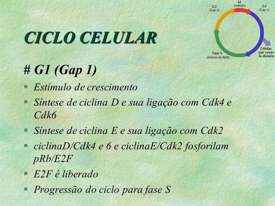 # G1 (Gap 1) §Estímulo de crescimento §Síntese de ciclina D e sua ligação com Cdk4 e Cdk6 §Síntese de ciclina E e sua ligação com Cdk2 §ciclinaD/Cdk4 e 6 e ciclinaE/Cdk2 fosforilam pRb/E2F §E2F é liberado §Progressão do ciclo para fase S