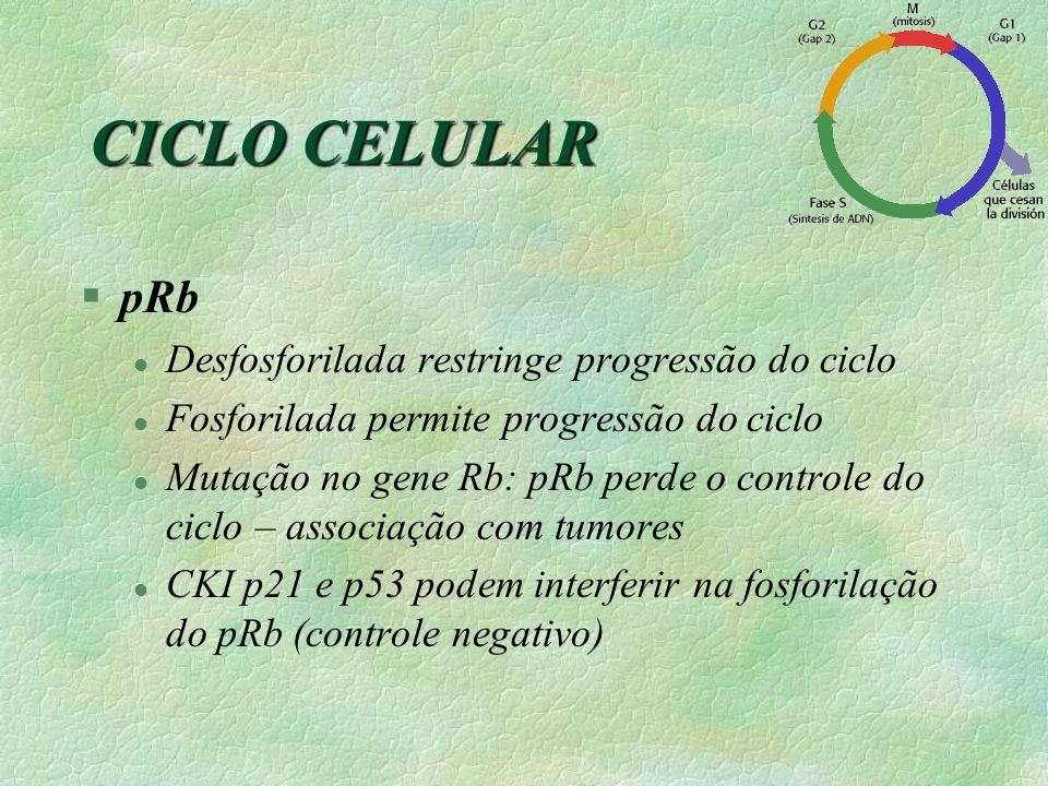 §pRb l Desfosforilada restringe progressão do ciclo l Fosforilada permite progressão do ciclo l Mutação no gene Rb: pRb perde o controle do ciclo – as