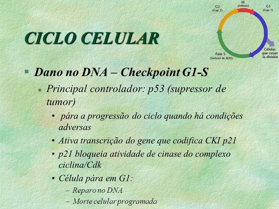 CICLO CELULAR §Dano no DNA – Checkpoint G1-S l Principal controlador: p53 (supressor de tumor) pára a progressão do ciclo quando há condições adversas