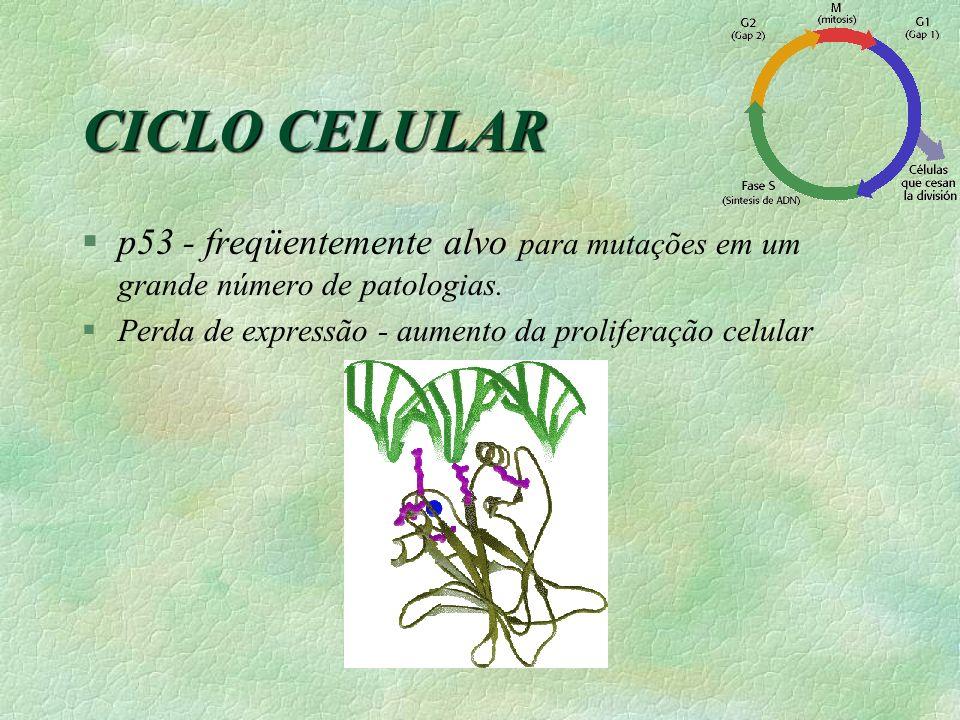 CICLO CELULAR §p53 - freqüentemente alvo para mutações em um grande número de patologias. §Perda de expressão - aumento da proliferação celular
