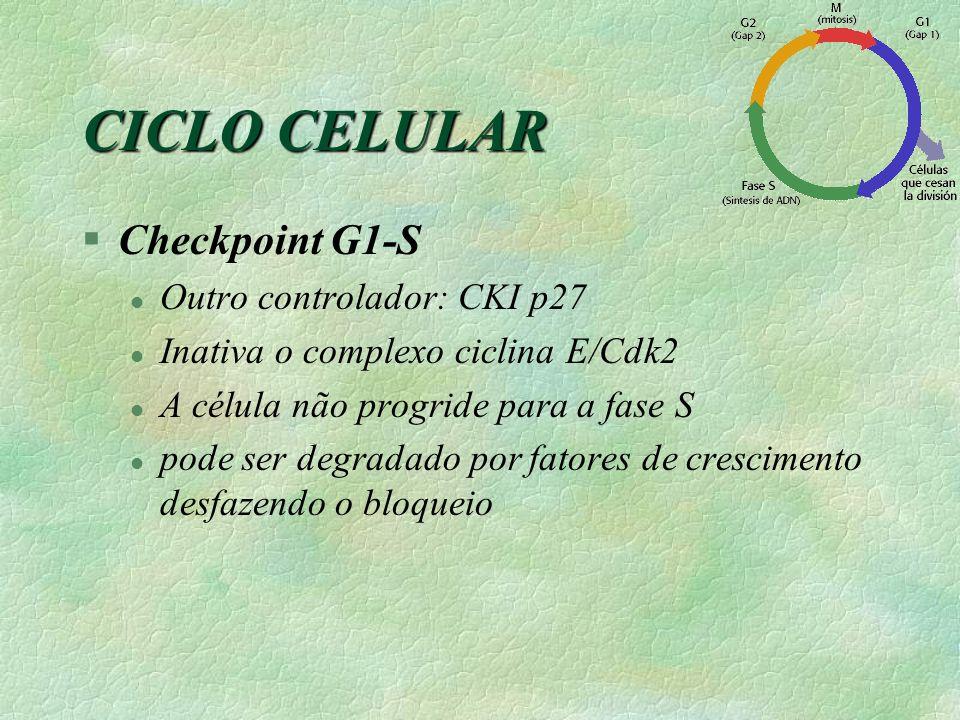 §Checkpoint G1-S l Outro controlador: CKI p27 l Inativa o complexo ciclina E/Cdk2 l A célula não progride para a fase S l pode ser degradado por fator