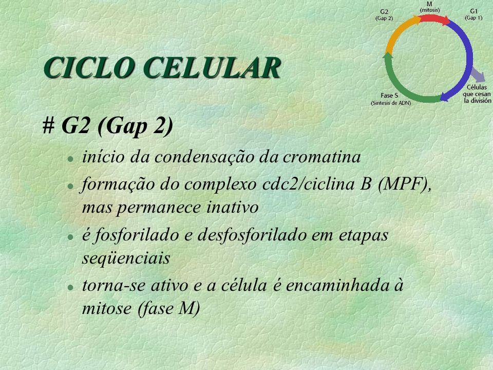 CICLO CELULAR # G2 (Gap 2) l início da condensação da cromatina l formação do complexo cdc2/ciclina B (MPF), mas permanece inativo l é fosforilado e desfosforilado em etapas seqüenciais l torna-se ativo e a célula é encaminhada à mitose (fase M)