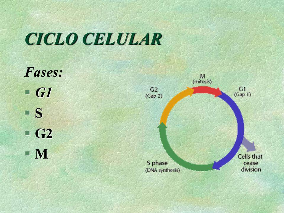CICLO CELULAR Fases: §G1 §S §G2 §M