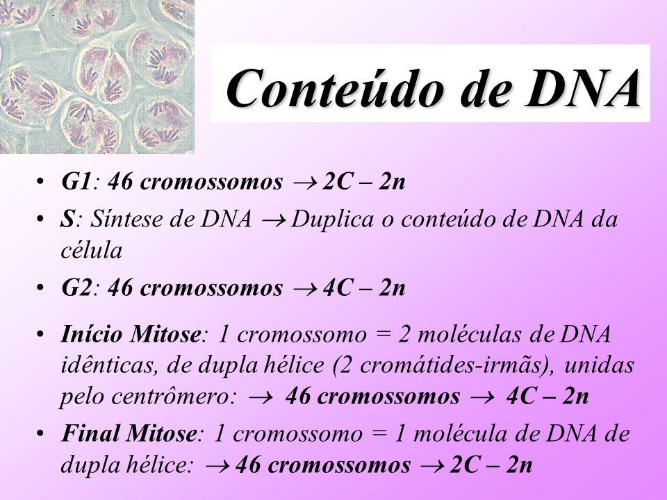 Conteúdo de DNA G1: 46 cromossomos 2C – 2n S: Síntese de DNA Duplica o conteúdo de DNA da célula G2: 46 cromossomos 4C – 2n Início Mitose: 1 cromossom
