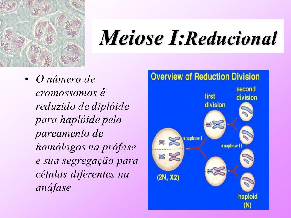 Meiose I: Reducional O número de cromossomos é reduzido de diplóide para haplóide pelo pareamento de homólogos na prófase e sua segregação para célula