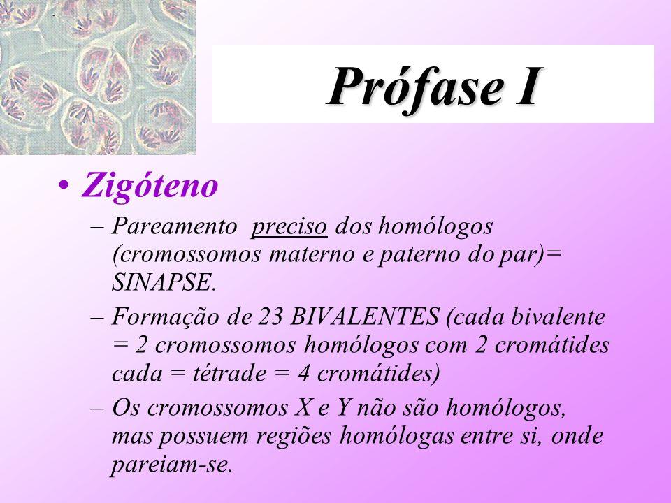 Prófase I Zigóteno –Pareamento preciso dos homólogos (cromossomos materno e paterno do par)= SINAPSE. –Formação de 23 BIVALENTES (cada bivalente = 2 c