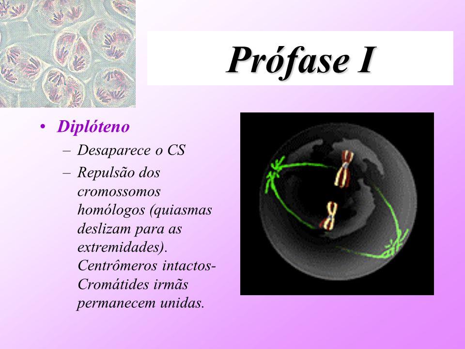 Prófase I Diplóteno –Desaparece o CS –Repulsão dos cromossomos homólogos (quiasmas deslizam para as extremidades). Centrômeros intactos- Cromátides ir