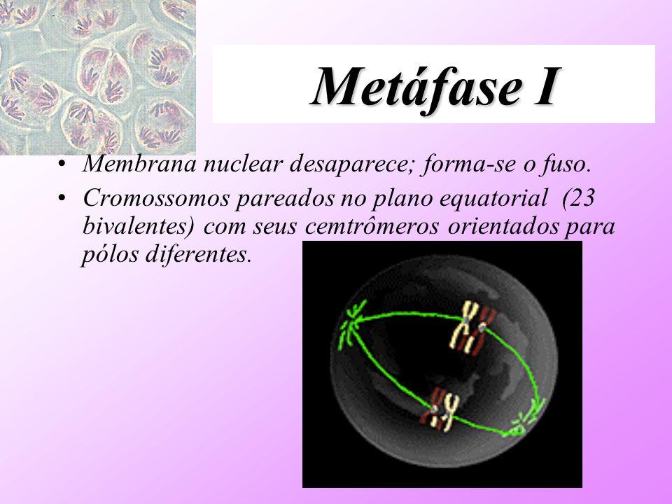 Metáfase I Membrana nuclear desaparece; forma-se o fuso. Cromossomos pareados no plano equatorial (23 bivalentes) com seus cemtrômeros orientados para