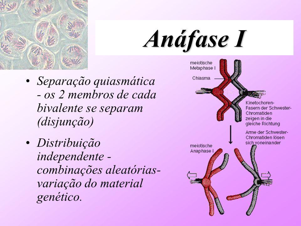 Anáfase I Separação quiasmática - os 2 membros de cada bivalente se separam (disjunção) Distribuição independente - combinações aleatórias- variação d