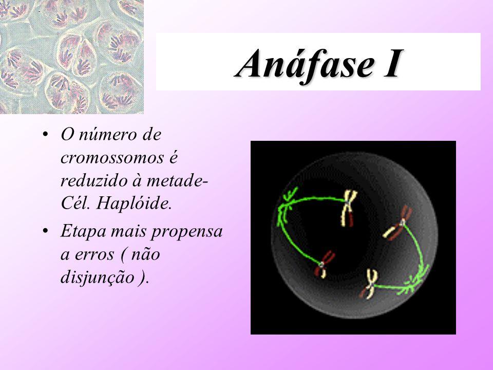 Anáfase I O número de cromossomos é reduzido à metade- Cél. Haplóide. Etapa mais propensa a erros ( não disjunção ).