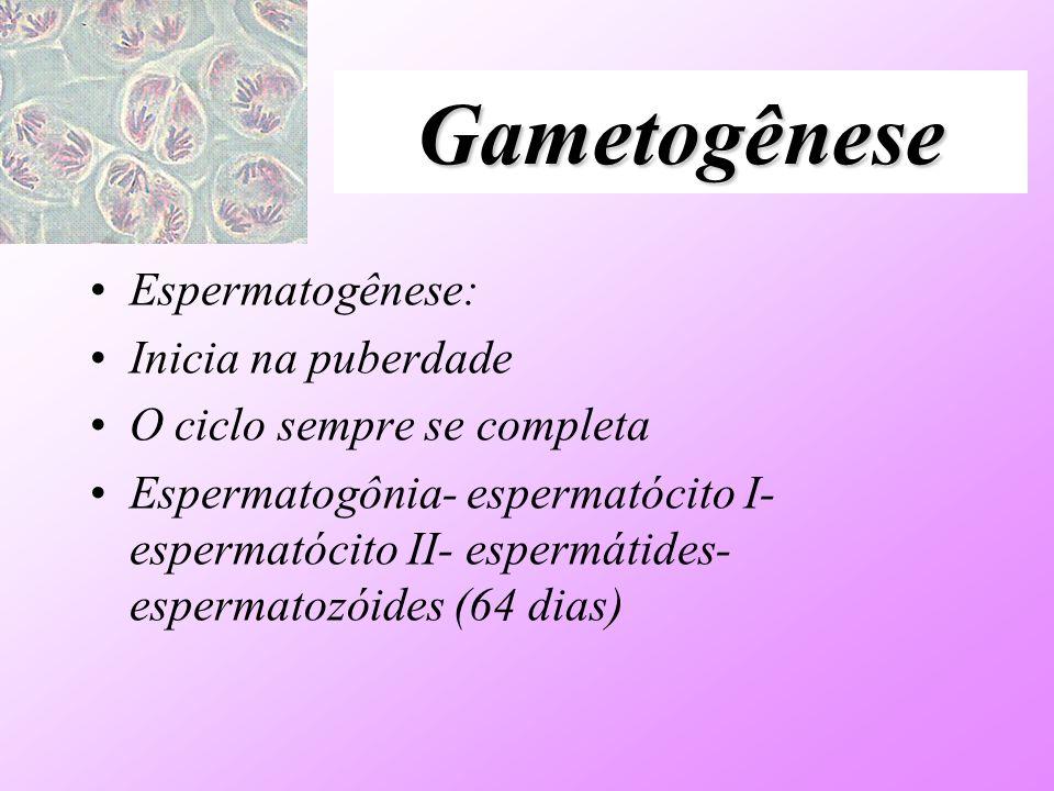 Gametogênese Espermatogênese: Inicia na puberdade O ciclo sempre se completa Espermatogônia- espermatócito I- espermatócito II- espermátides- espermat