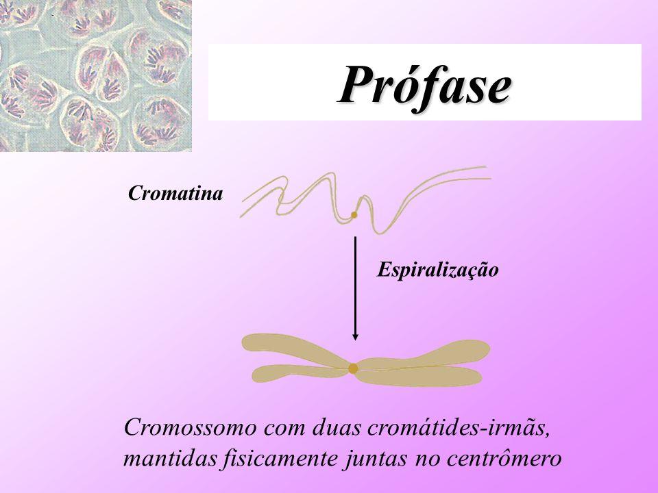 Prófase Cromatina Espiralização Cromossomo com duas cromátides-irmãs, mantidas fisicamente juntas no centrômero