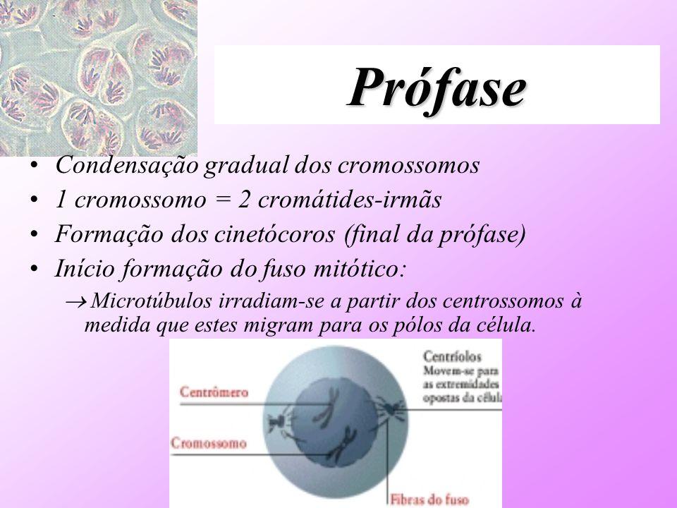Prófase I Diplóteno –Desaparece o CS –Repulsão dos cromossomos homólogos (quiasmas deslizam para as extremidades).