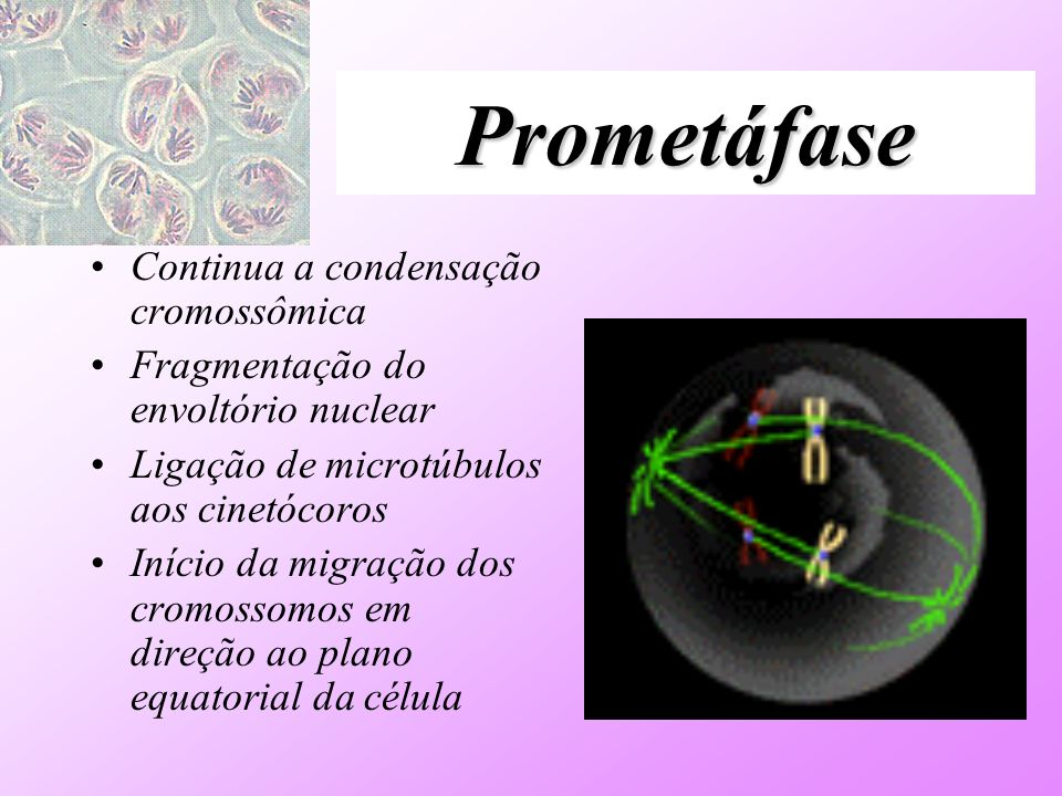 Prometáfase Continua a condensação cromossômica Fragmentação do envoltório nuclear Ligação de microtúbulos aos cinetócoros Início da migração dos crom