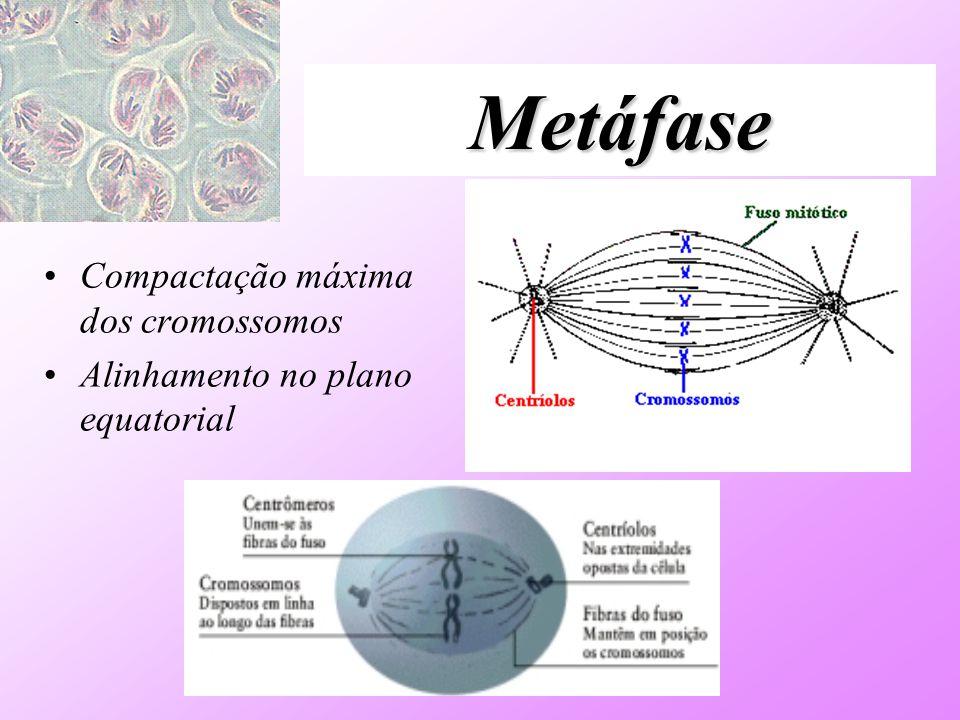 Metáfase Compactação máxima dos cromossomos Alinhamento no plano equatorial