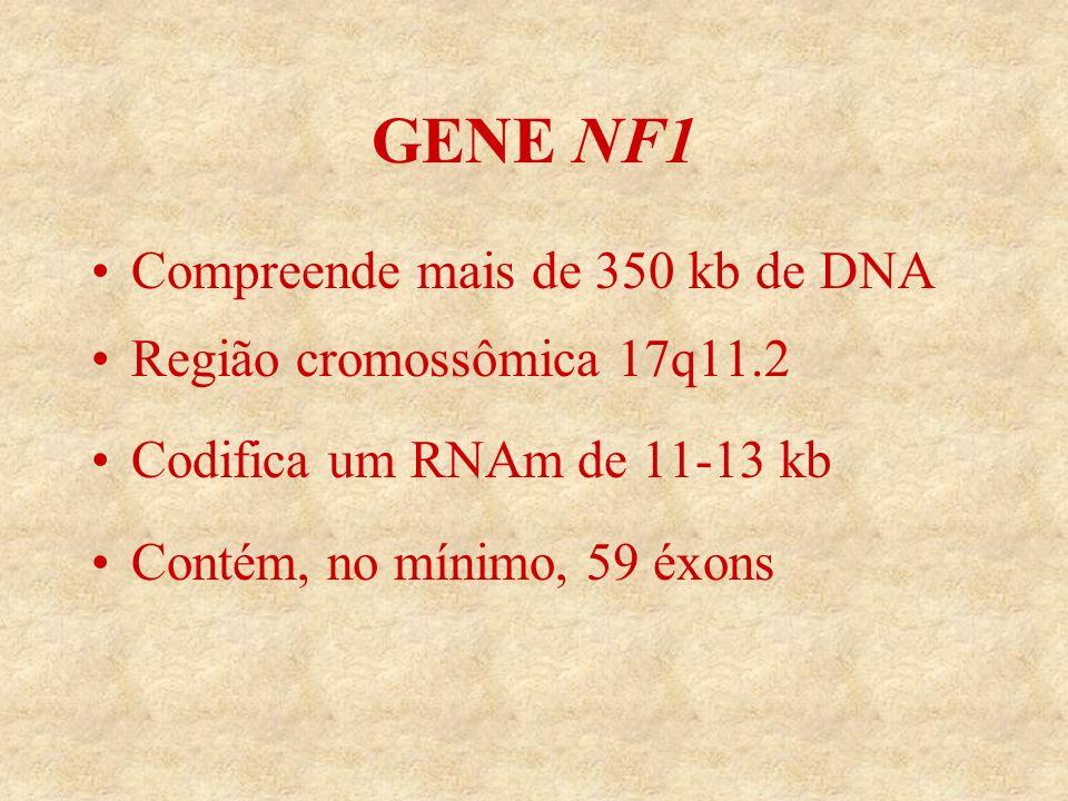 GENE NF1 Compreende mais de 350 kb de DNA Região cromossômica 17q11.2 Codifica um RNAm de 11-13 kb Contém, no mínimo, 59 éxons